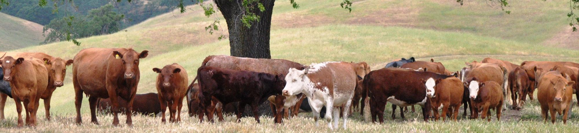 Shorthorns