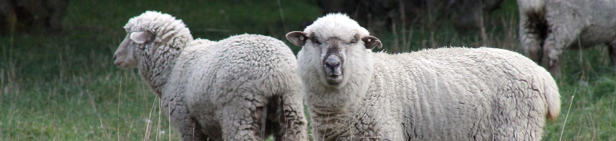 Flock of whiteface sheep outdoors